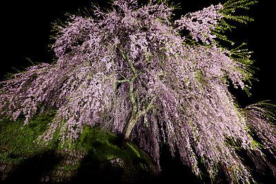 Cherry blossoms - p307m826841f by Tadao Yamamoto