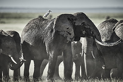 Group of elephants with single oxpecker - p706m2158431 by Markus Tollhopf