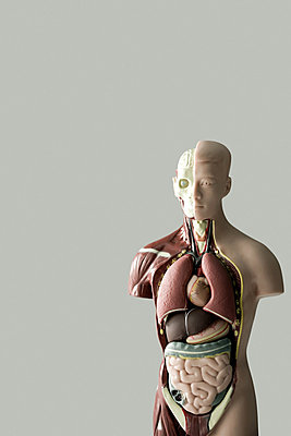 Anatomical model - p9247460f by Image Source