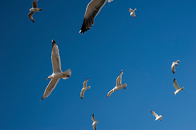 Flock of gulls in flight against a blue sky - p1047m1041660 by Sally Mundy