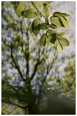 Beech leaves in the back light - p1564m2278220 by wpsteinheisser