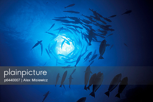 Silhouette of spiralling trevally - p6440007 by Alex Misiewicz