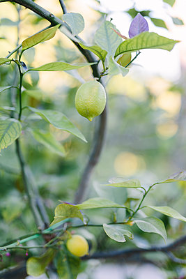 Lemon on branch - p312m2050253 by Linda-Pauline Arousell