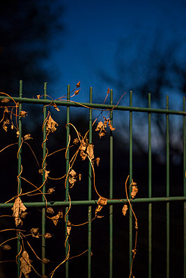 Overgrown metal fence in the evening - p1621m2228727 by Anke Doerschlen