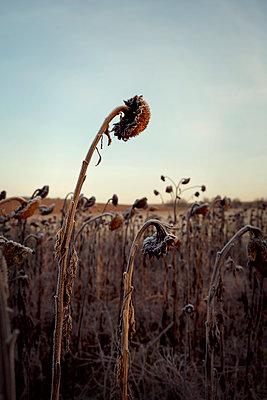 Sunflowers in winter - p470m2185030 by Ingrid Michel