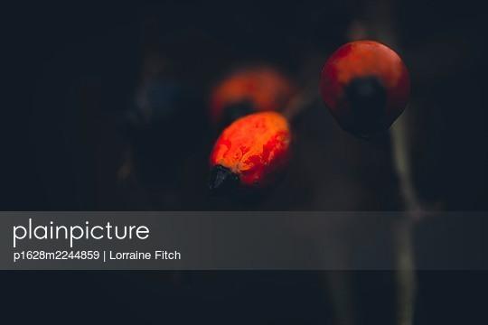 Rote Beeren im Winter - p1628m2244859 von Lorraine Fitch