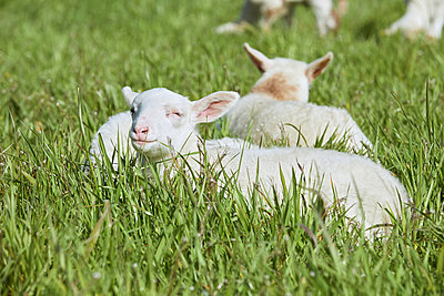 Sheep rest in the grass - p1540m2271346 by Marie Tercafs