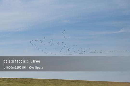 Deutschland, Schleswig-Holstein, St. Peter-Ording, Vögel im Flug - p1600m2253191 von Ole Spata