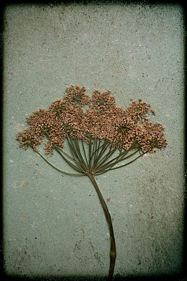 Dried apiaceae - p1028m1136712 by Jean Marmeisse