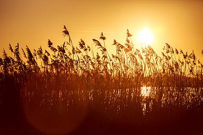 Sonnenuntergang hinter Schilf - p1057m1203204 von Stephen Shepherd