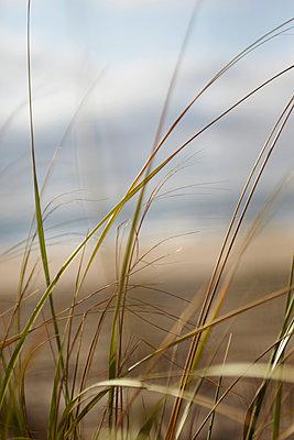 Beach grass - p1141m932570 by Annette Fischer