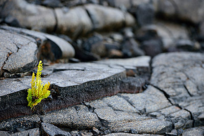 USA, Hawaii, Big Island, Volcanoes National Park, fern, Polypodiopsida, growing in between lava crack - p300m998582f by Biederbick&Rumpf