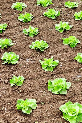 Frisch gepflanzte Salatköpfe - p4510696 von Anja Weber-Decker