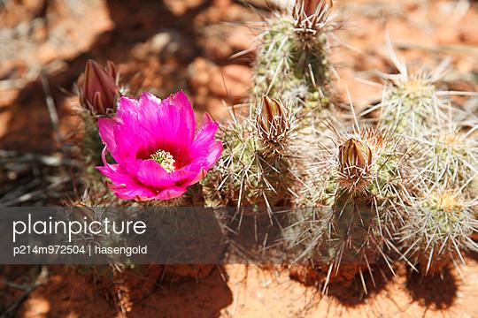 Kaktusblüte - p214m972504 von hasengold