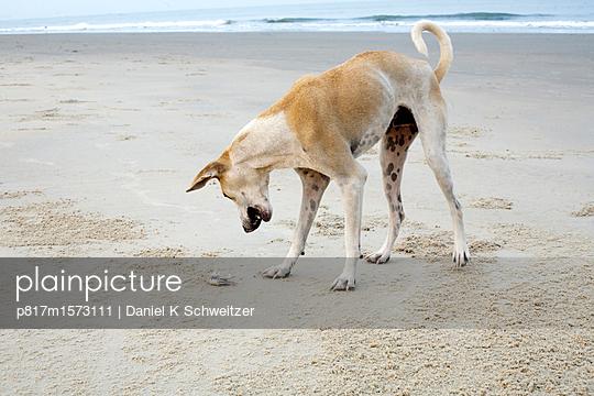 Spielender Hund am Stand - p817m1573111 von Daniel K Schweitzer