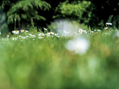 Blurred daisies growing in a lawn - p1047m953676 by Sally Mundy