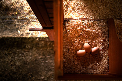 fresh eggs inside a nesting box from a chicken coop - p1166m2218668 by Cavan Images