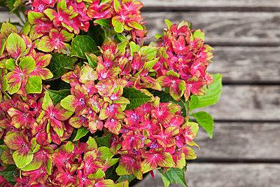 Bouquet of hydrangeas - p300m2083455 von Gaby Wojciech