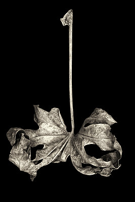 Withered leaf on black background - p977m1159470 by Sandrine Pic