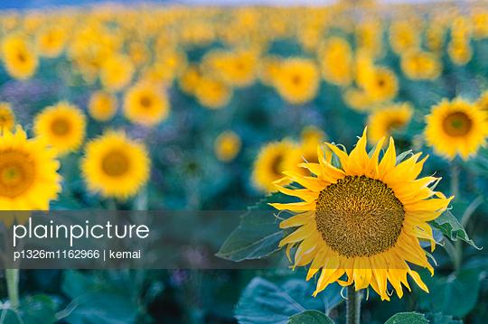 Sonnenblumenarmee - p1326m1162966 von kemai