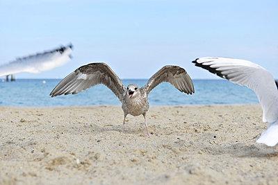 Junge Möwe am Strand - p533m885392 von Böhm Monika