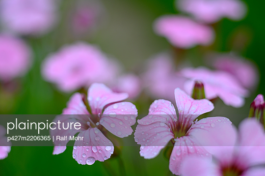 Pink coloured flowers - p427m2206365 by Ralf Mohr
