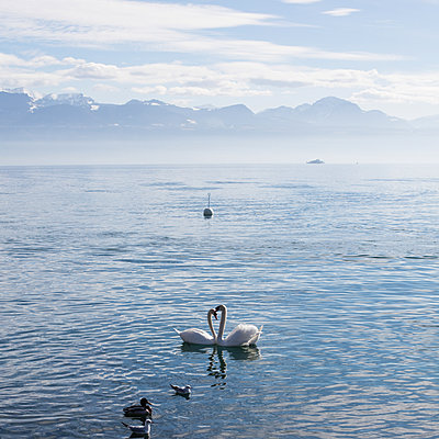 Two swans on Lake Geneva - p1138m1221988 by Stéphanie Foäche