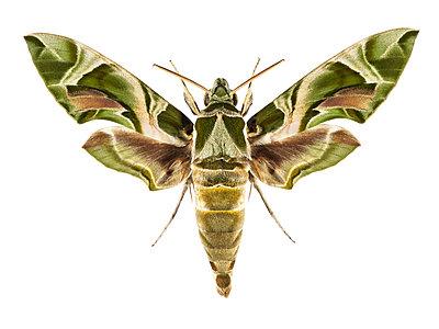 Oleanderschwärmer Schmetterling, Sphingidae - p1312m1137627 von Axel Killian