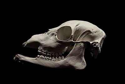 Roe deer skull - p1235m2044525 by Karoliina Norontaus