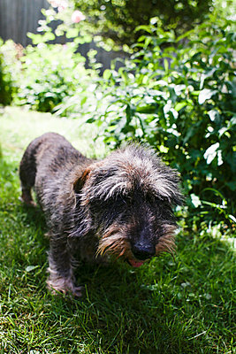 Wire-haired dachshund in garden - p1301m1525291 by Delia Baum