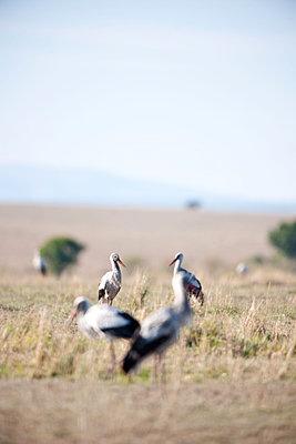 Storks making a rest in the Masai Mara - p533m1225560 by Böhm Monika