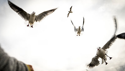 Seagulls in flight - p075m2071219 by Lukasz Chrobok