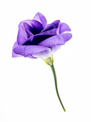 Lisianthus flower - p401m2291102 by Frank Baquet
