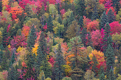 Forest in autumn, Laurentian Mountains, La Mauricie National Park, Quebec, Canada - p884m1356776 by Matthias Breiter