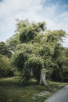 Blossoming tree on the roadside, Northern Ireland - p1681m2283624 by Juan Alfonso Solis