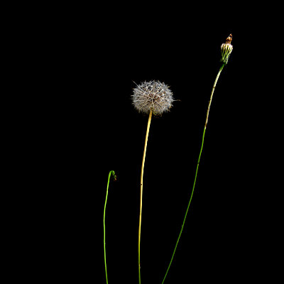 Dandelion in studio - p813m916234 by B.Jaubert