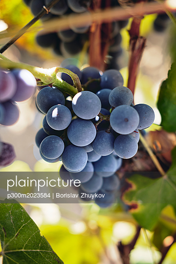 Blue grapes on vine stock - p300m2023584 von Borislav Zhuykov