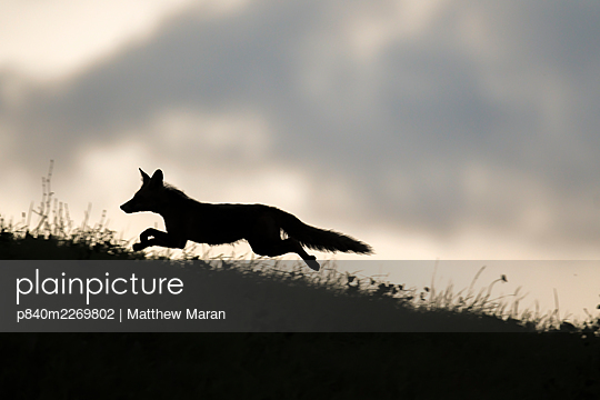Red fox (Vulpes vulpes) silhouetted,  running along horizon, Switzerland - p840m2269802 by Matthew Maran