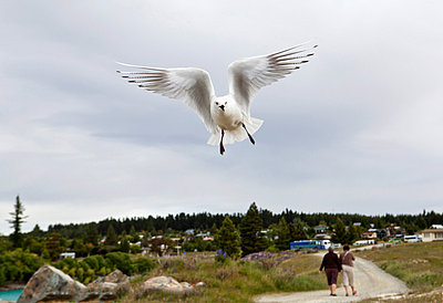 A white sea bird in flight, Lake Te Anau, New Zealand - p301m714619f by Tamara Lackey