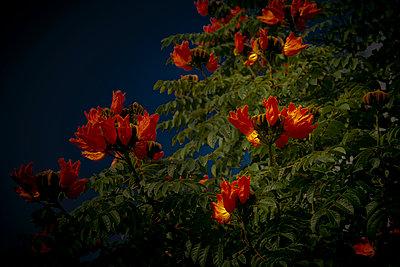 Blühender Afrikanischer Tulpenbaum - p647m1113100 von Tine Butter