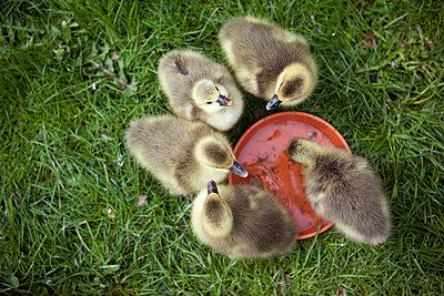 Ducklings - p1195m1071060 by Kathrin Brunnhofer