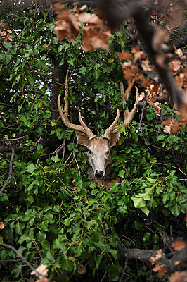 Deer figure in the brushwood - p1468m1558890 by Philippe Leroux