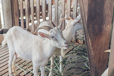 Two white goats in stable - p300m1562493 by VITTA GALLERY