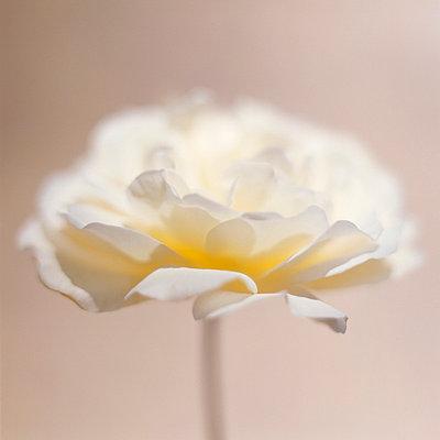 Weiße Rose nah - p4950185 von Jeanene Scott