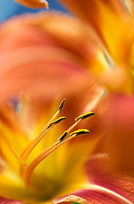 Pollenstand einer Lilie - p8860031 von Francois Bour
