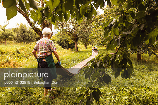 Senior woman with tarpaulin during cherry harvest in orchard - p300m2132515 by Sebastian Dorn