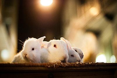 Rabbits - p1007m886839 by Tilby Vattard