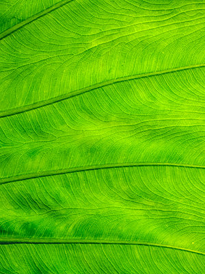 Philodendron, Leaf - p1600m2175650 by Ole Spata
