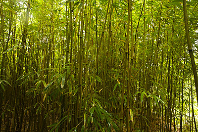 Bamboo Forest, North Maui, Hawaii, USA   - p4427940f by Design Pics