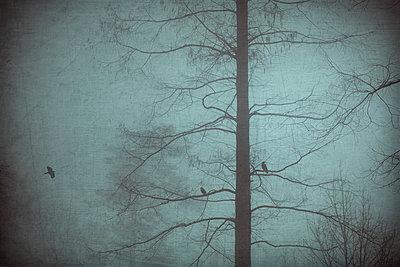 Germany, three crows in winter - p300m2219249 by Dirk Wüstenhagen